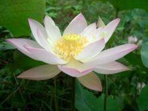 Lotus - Nelumbo nucifera \'Xiangshan Lian\'