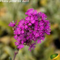 Lychnis viscaria alpina \'Rosea\'