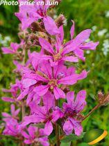 Lythrum virgatum \'Dropmore Purple\'