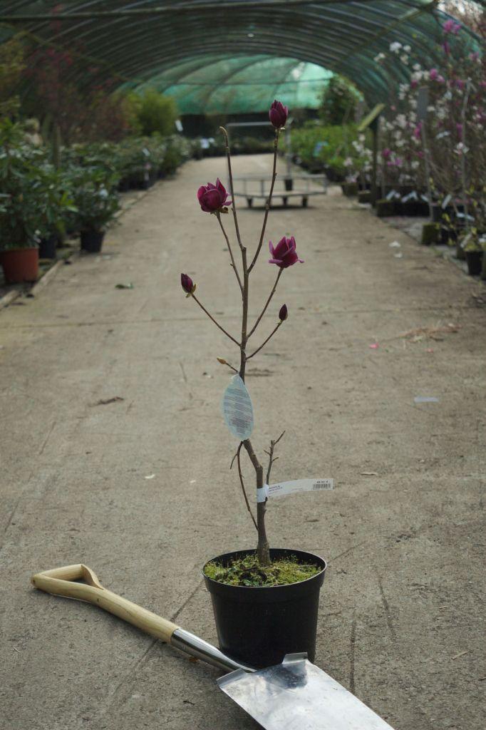 Magnolia \' Genie \'