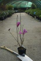 Magnolia \' Susan \'