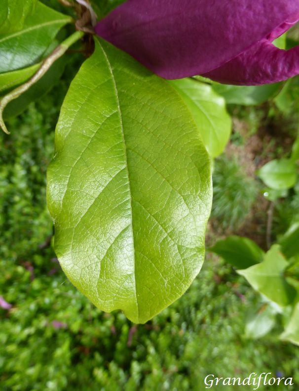 Magnolia* \'Susan\'