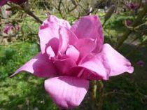 Magnolia* \'Vulcan\'