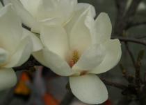 Magnolia* denudata