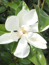 Magnolia* grandiflora \'Ferruginea\'
