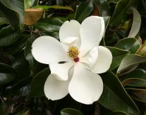 Magnolia* grandiflora \'Galissoniensis\'