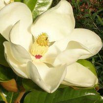 Magnolia* grandiflora \'Galissoniensis Praecox\'