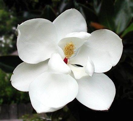 Magnolia* grandiflora \'Little Gem\'
