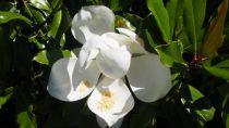 Magnolia* grandiflora \'Purpan\'