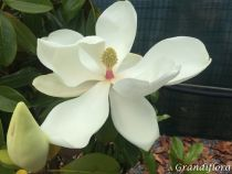 Magnolia* grandiflora