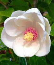 Magnolia* sieboldii
