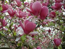 Magnolia* soulangeana \'Rustica Rubra\'