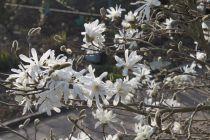 Magnolia* stellata \'Waterlily\'