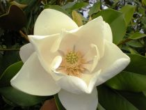 Magnolia grandiflora \' Double Nantais \'