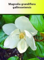 Magnolia grandiflora \' Gallissionensis \'