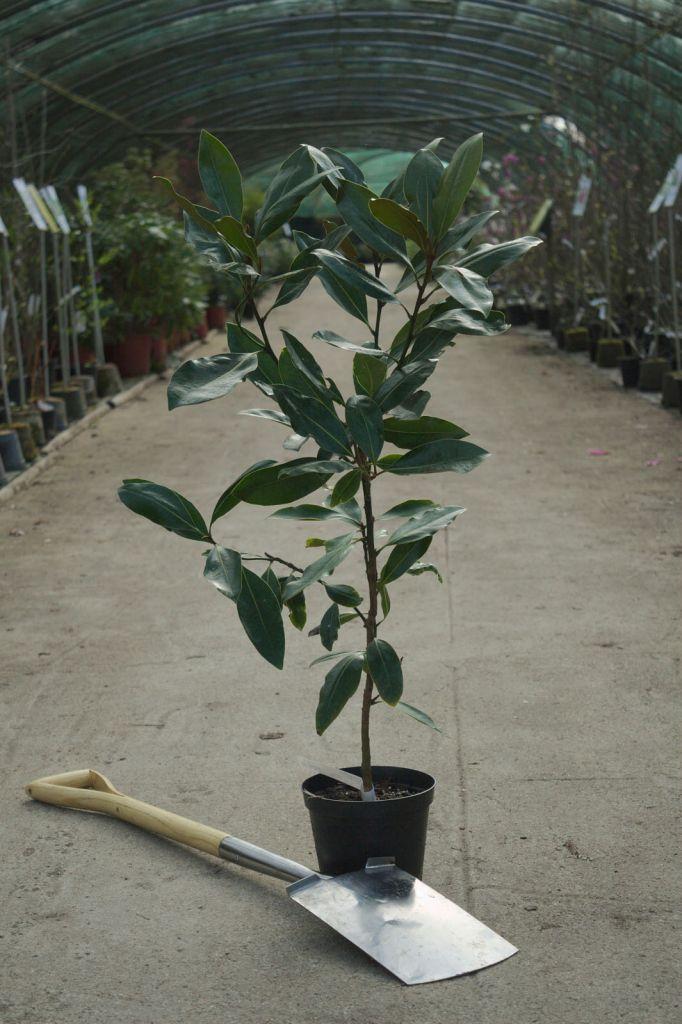 Magnolia grandiflora \' Little Gem \'
