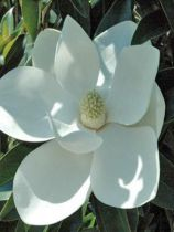 Magnolia grandiflora \'Alta\'
