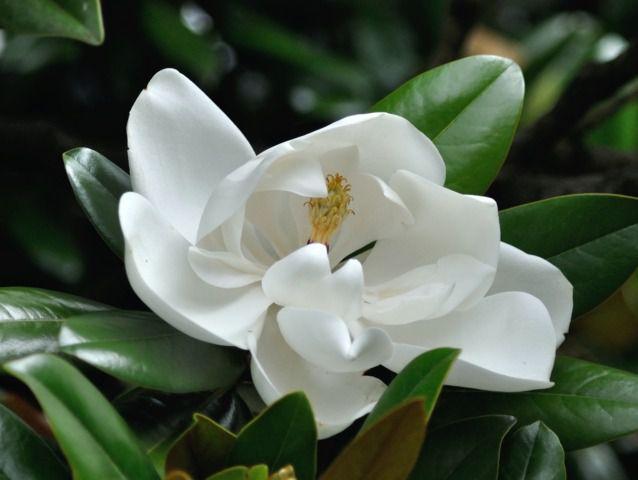 magnolia grandiflora 39 le nantais 39. Black Bedroom Furniture Sets. Home Design Ideas