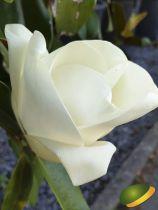 Magnolia grandiflora \'Gallissoniensis\'