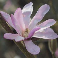 Petit arbre caduc au feuillage vert et aux fleurs roses en étoile au printemps.