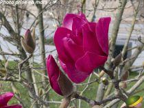 Magnolia liliflora \'Genie\'