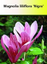 Magnolia lilliflora \' Nigra \'