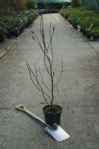 Magnolia soulangeana \' Lennei \'