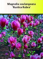 Magnolia soulangeana \' Rustica Rubra \'