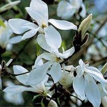 magnolia wadas memory