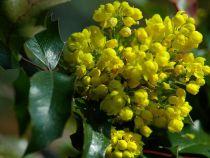 Mahonia aquifolium \'Apollo\'