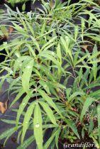 Mahonia eurybracteata Sweet winter®