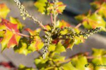 Mahonia japonica \'Bealei\'