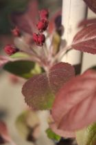 Malus \' Coccinella \', arbre au feuillage caduc pourpre au fleurs rouge foncé au printemps. Fruits comestible rouge en fin d\'été.
