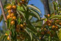 ABR5074_B, Petit arbre au feuillage caduc vert grisâtre et aux fleurs blanche au printemps. Fruit comestible jaune doré en fin d\'été.