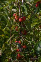 Malus \' John Downie \', Petit arbre au feuillage caduc vert. Fleurs rose s\'épanouissant blanc au printemps. Fruits jaune et rouge en fin d\'été.