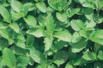 Mentha piperata \' Swiss \'