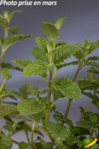 Menthe Fraise - Mentha spicata \'Strawberry\'
