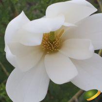 Michelia x \'Fairy Blush\'® - Magnolia