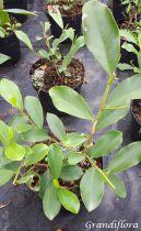 Michelia yunnanensis - Magnolia dianica