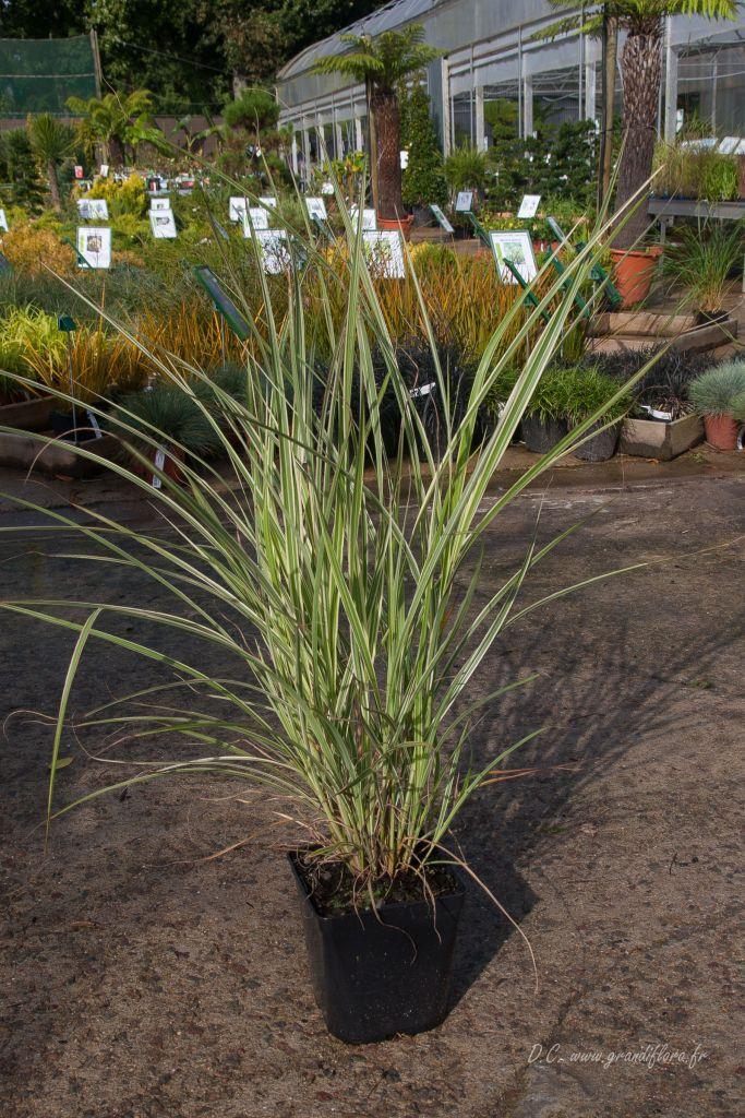 Miscanthus sinensis \'Variegatus\'