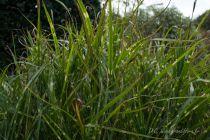 Miscanthus sinensis \'Zebrinus\'