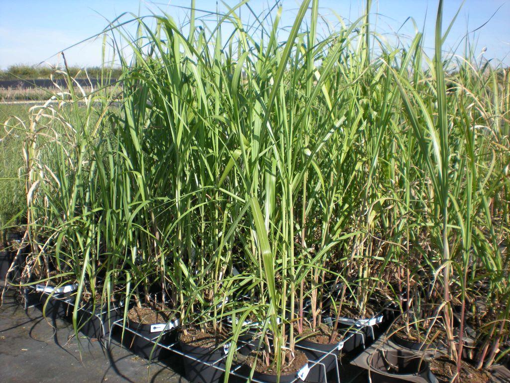 miscanthus sinensis floridulus (giganteus), graminée caduque au feuillage vert large.