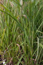 Miscanthus sinensis