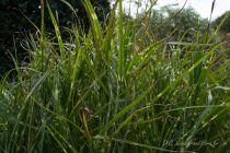 Miscanthus sinensis\'Zebrinus\'