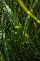 Miscanthus sinensis \'Zebrinus\', graminée caduque au feuillage vert rayé de jaune.