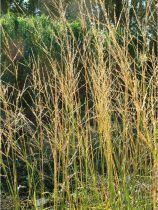 Molinia arundinacea \'Windspiel\'