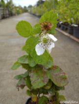 Mûres Blackberry® \'Purple Opal\' - Rubus fruticosus