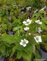 Mûres sans épines \'Little Black Prince®\' - Rubus fructicosus