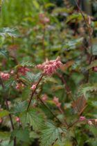 Neillia affinis, arbuste caduc à feuillage découpé et à floraison en grappes rose au printemps.