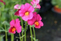 Nemesia sunsatia plus \'Rapsberry\'